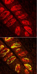 Le cellule chemiosensoriali solitarie evidenziate nell'epitelio intestinale